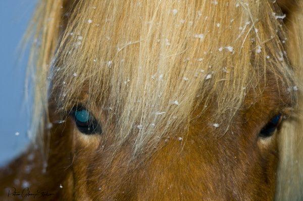 Blue Eyed Icelandic Horse - patricia gilman