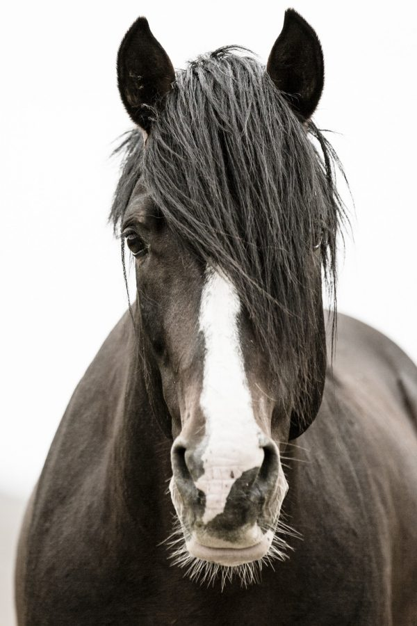 Photograph of Wild Rescued Dark Bay Stallion with white Blaze