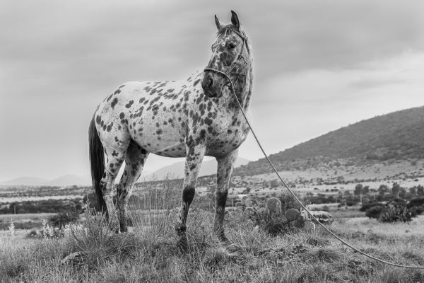 Black and White Photograph of spotted , Apaloosa