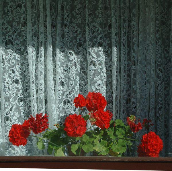 Geraniums in the Window - patricia gilman