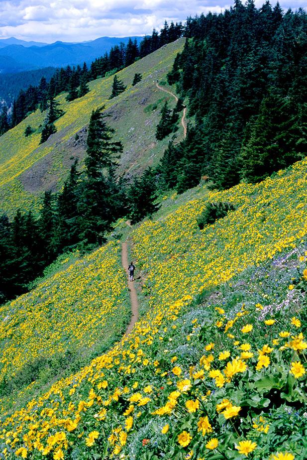 Dog Mountain Yellow Balsamroot